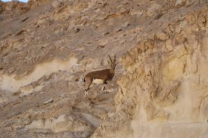 אייל במדבר בדרום ישראל